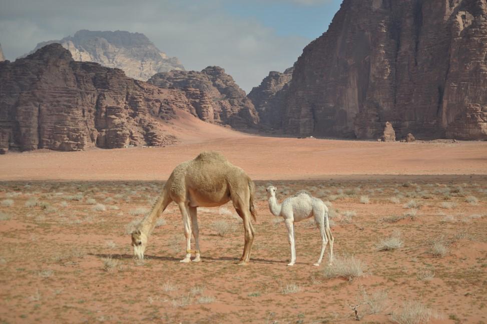 Jordan - Wadi Rum - baby camel.jpg