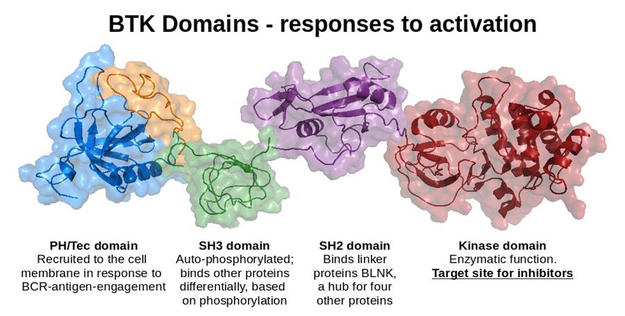 BTK protein.jpg
