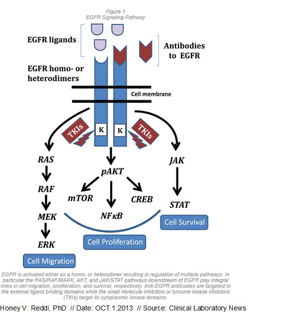 EGFR signaling.jpg