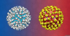 This is an artist's rendering of the antibody 2D22 neutralizing the dengue virus serotype 2.
